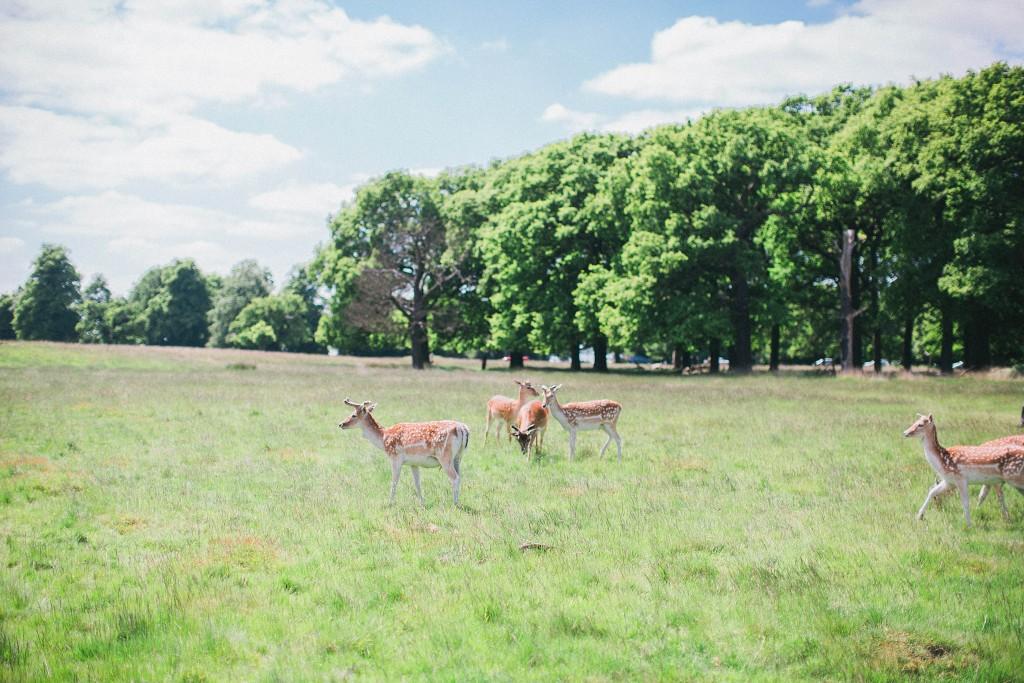 nicholas-lau-nicholau-weddings-beautiful-film-photography-love-london-engagement-couple-romance-amour-cute-sunny-sunlight-summer-chinese-asian-petersham-nurseries-richmond-park-deer